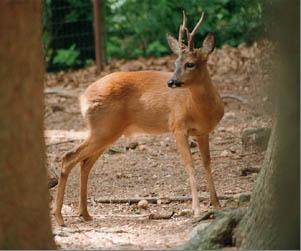 Здесь обитают многие лесные виды - лось, косуля, заяц-беляк, барсук, лисица, колонок, горностай, рысь и жители...